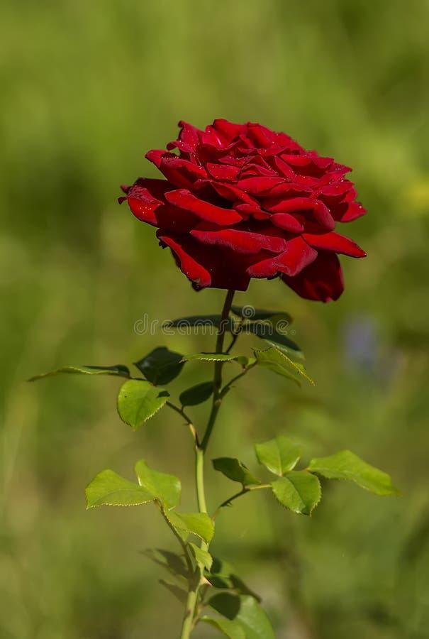 Rose velvet. Velvet rose after the rain royalty free stock images