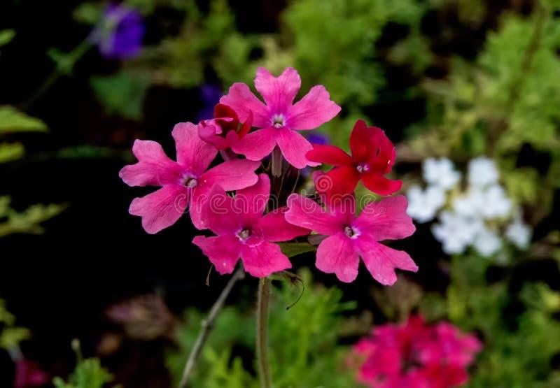 Rose Verbena cor-de-rosa e flor branca no fundo foto de stock royalty free