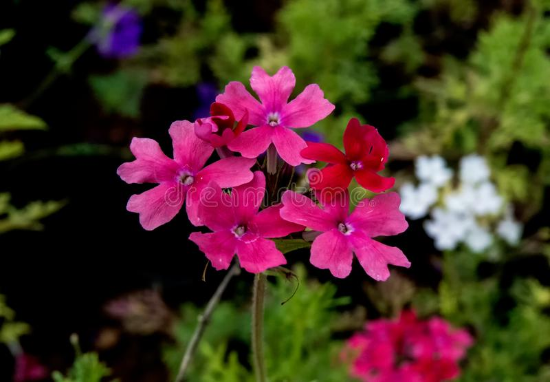 Rose Verbena rosada y flor blanca en fondo foto de archivo libre de regalías