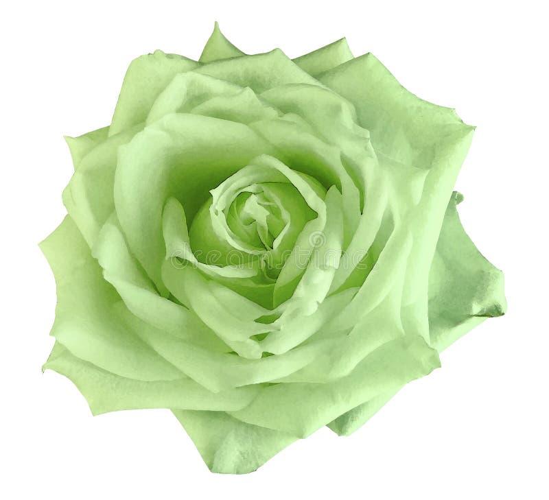 Rose verdi del fiore dell'acquerello isolato su un fondo bianco closeup Per il disegno immagini stock libere da diritti