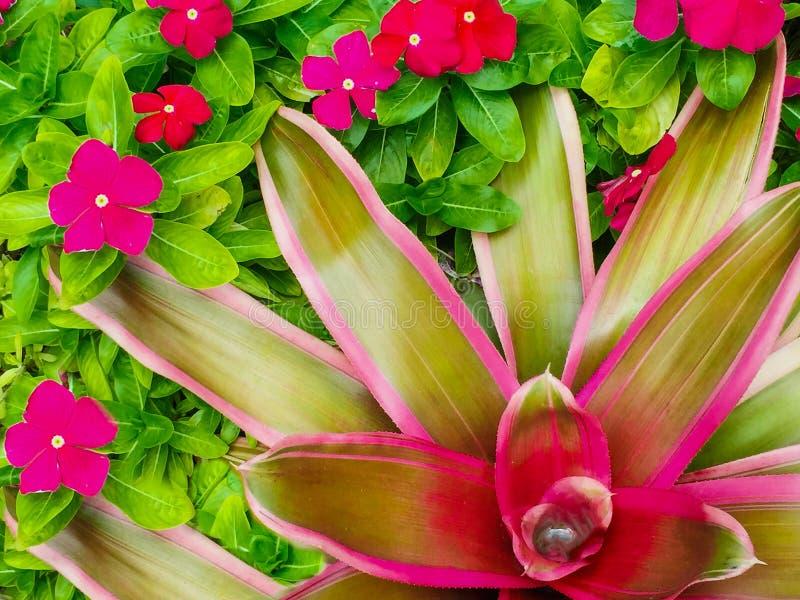 Rose vert rouge lumineux de plan rapproché de bromélia images libres de droits