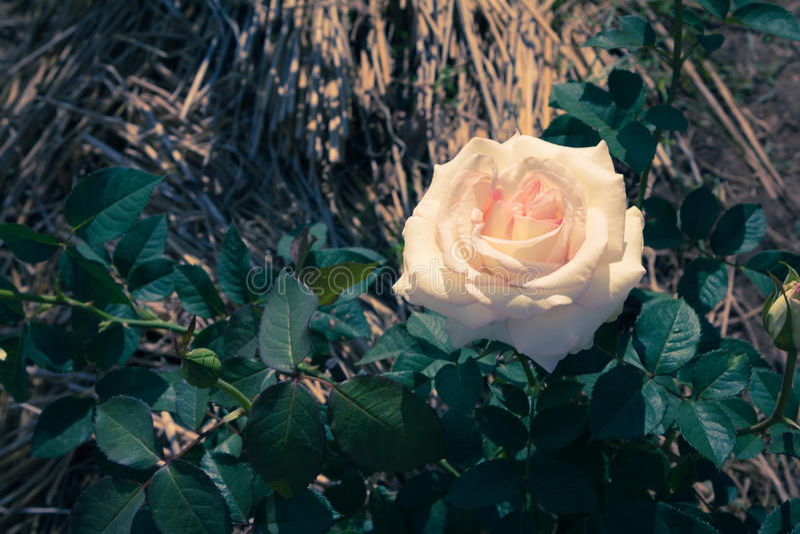 Rose Vintage photos stock