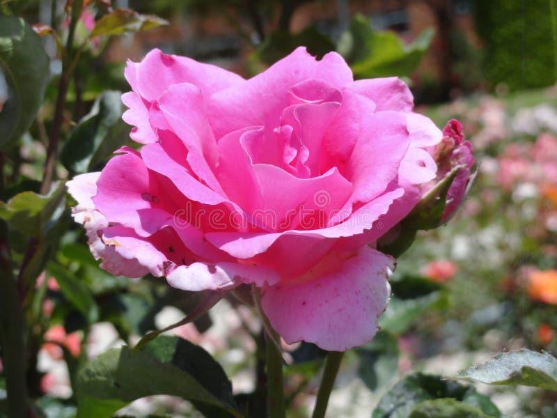 Rose viola nel parco di retiro fotografia stock libera da diritti