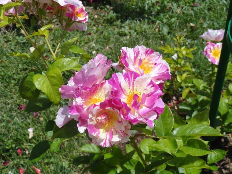 Rose viola nel parco di retiro immagine stock libera da diritti