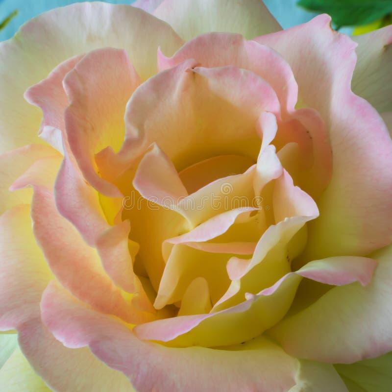 rose ?vre f?r t?t blomma Gul softness royaltyfri bild
