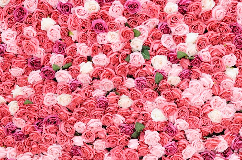 Rose wall royalty free stock photos