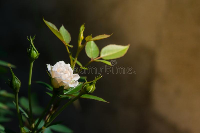 Rose and warm light in garden background , beautiful moments of love and happy life stock images