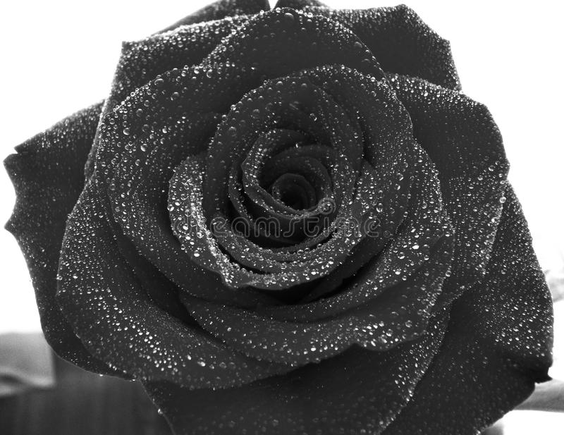 Rose with water drops royalty free stock photography