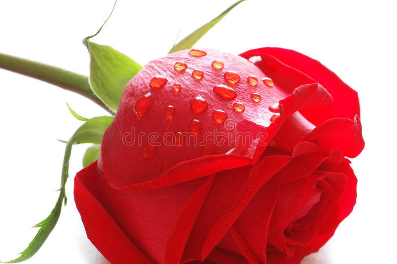 Rose with water drops isolate royalty free stock photography