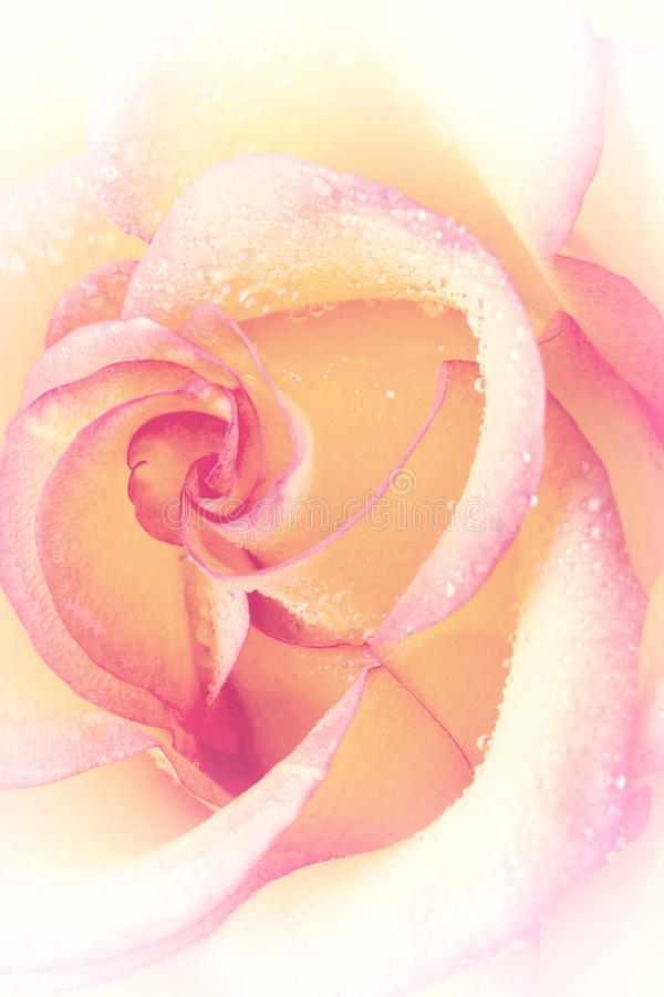 Rose with water drops on petals stock photo