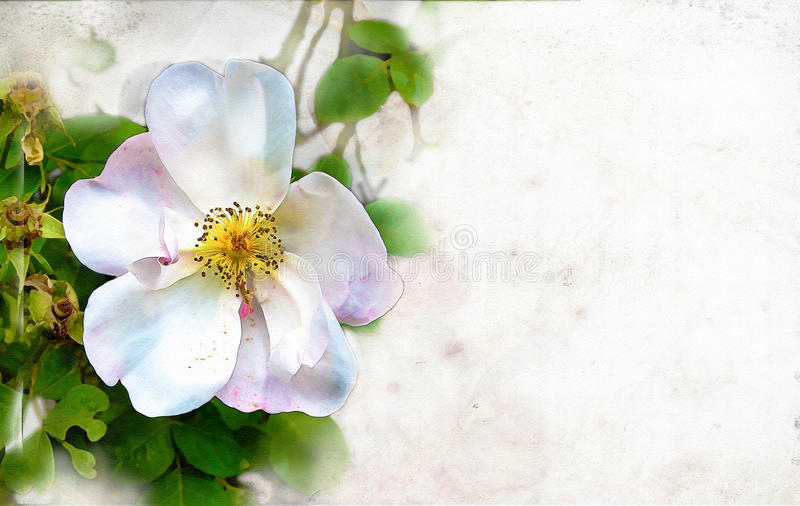 Rose watercolor background. Rose illustration watercolor style background royalty free stock photos