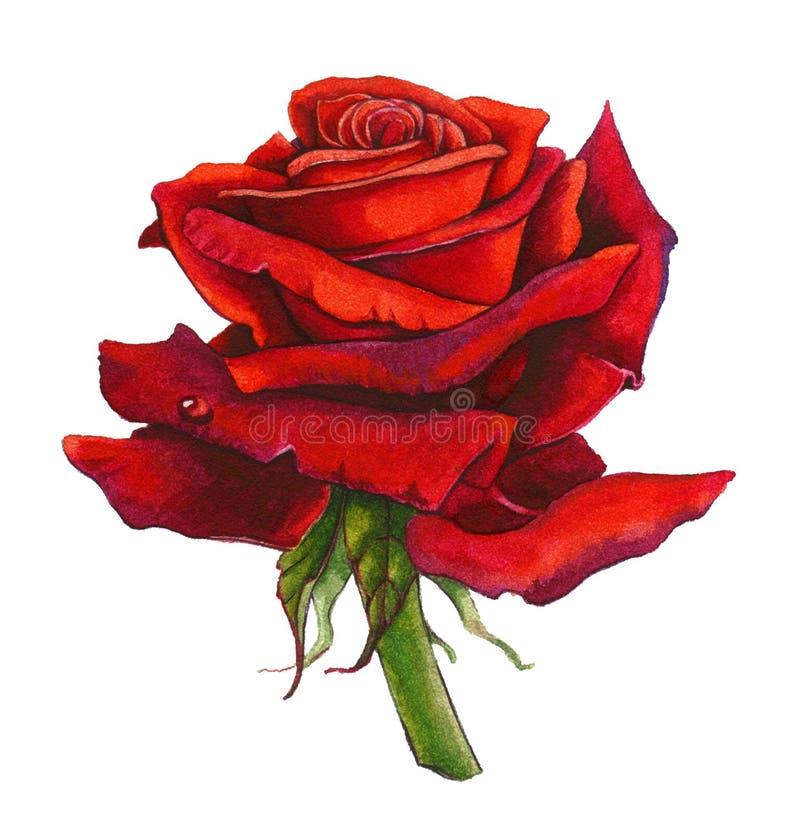 Rose Watercolor vermelha ilustração do vetor