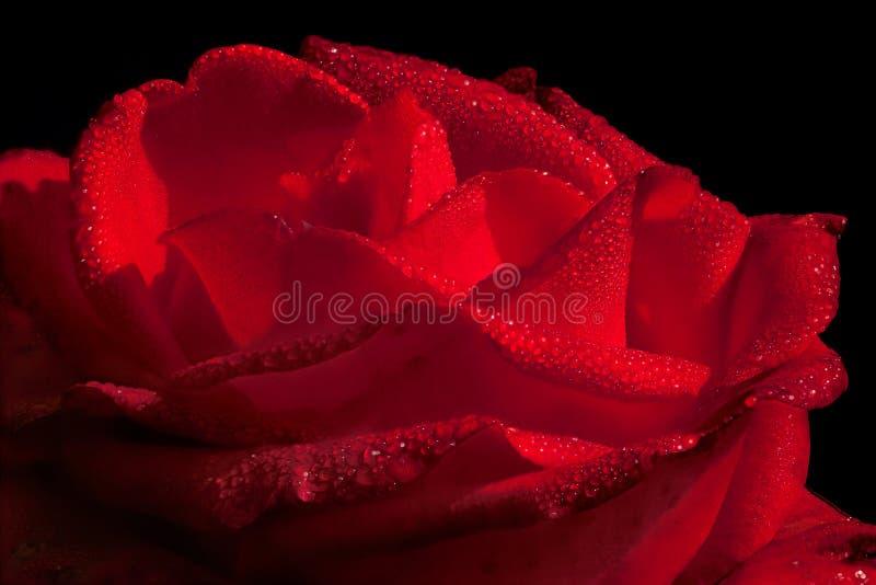 Download Rose Waterdrops För Varm Red Arkivfoto - Bild av naturligt, öppet: 277326