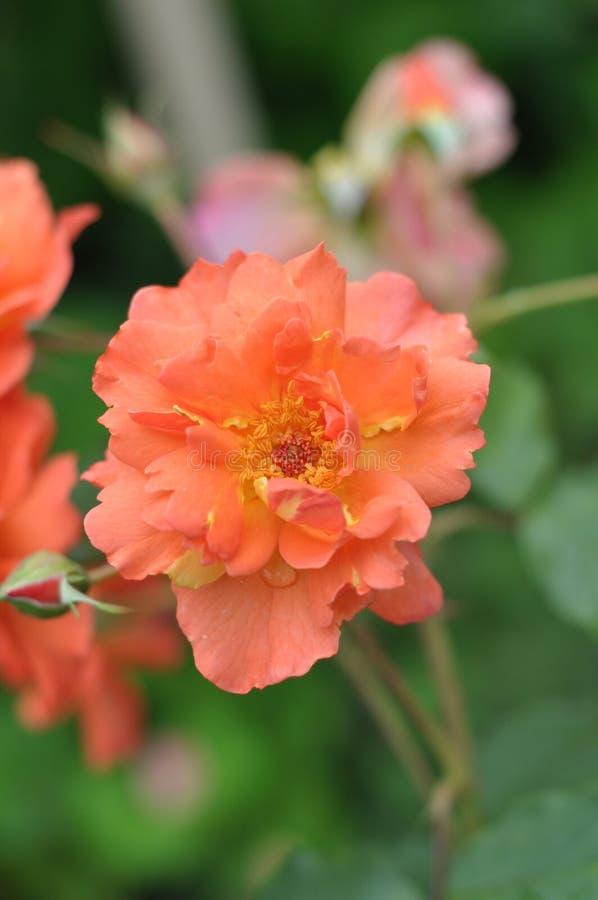 Rose Westerland royaltyfria foton