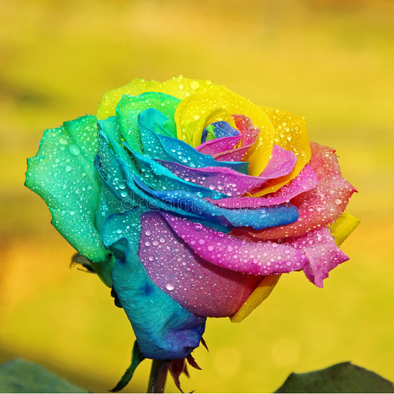 Download Rose stock image. Image of love, flower, rainbow, growth - 70141639