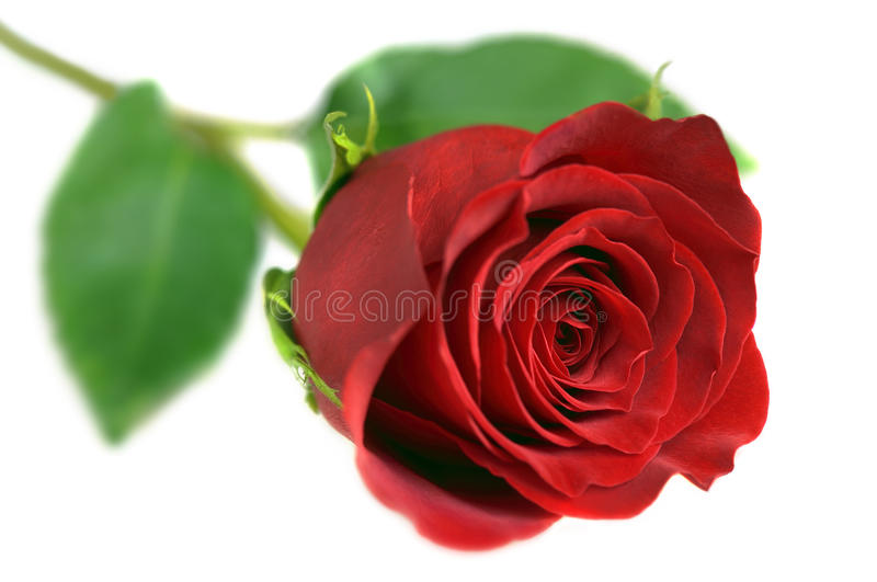 Download Rose on White stock image. Image of green, object, close - 19084921