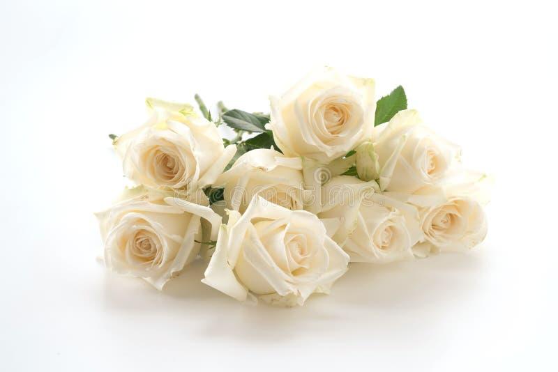 rose white zdjęcia royalty free