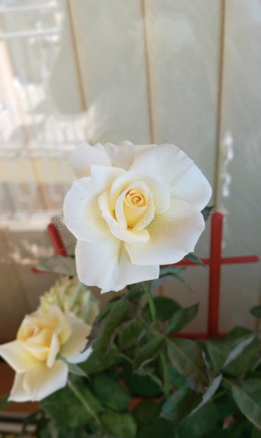 Rose White Amazing Beautiful Flower immagini stock libere da diritti
