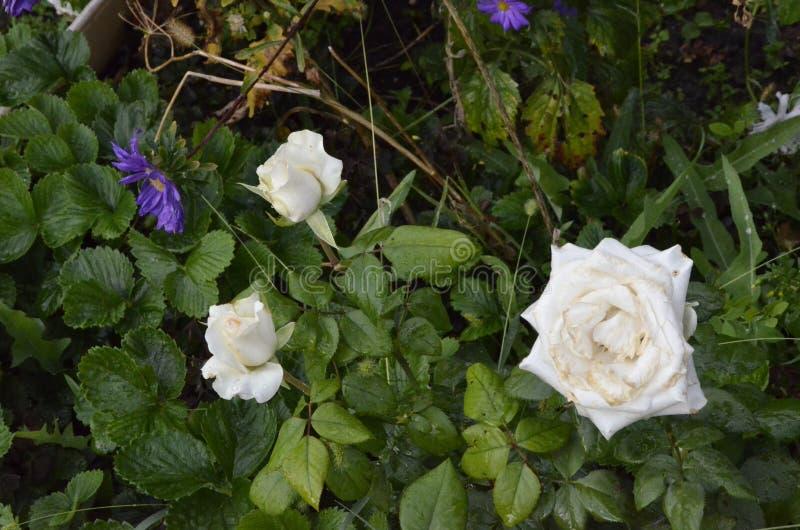 rose white Rzeźbiący zieleni liście wyruszali kwiatu zdjęcia stock
