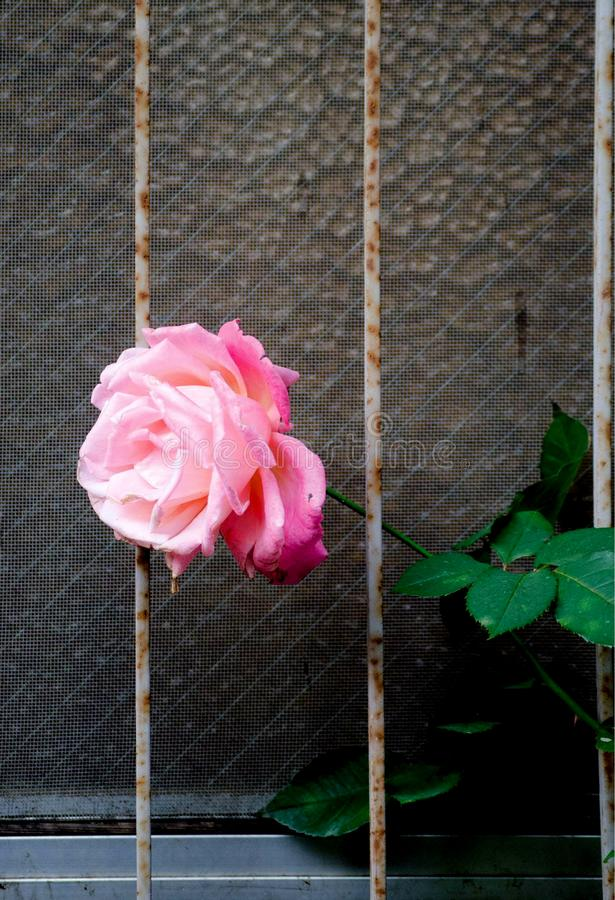 Rose on the Window around Tokyo, Japan. In the flower field, Rose means love. royalty free stock photos