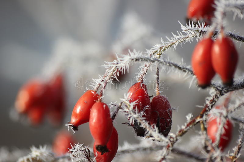 Rose in winter royalty free stock photography