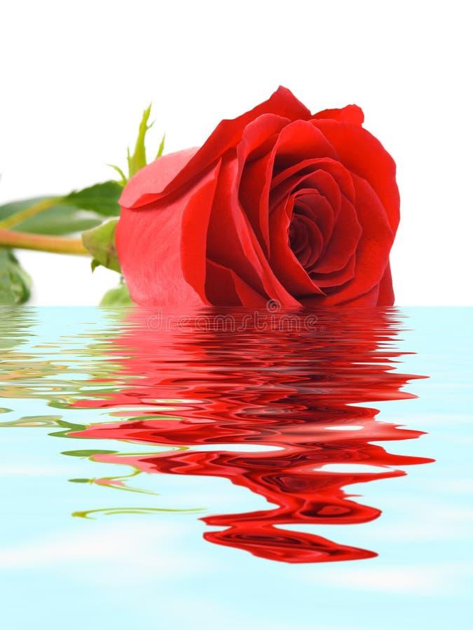 rose wody zdjęcie royalty free