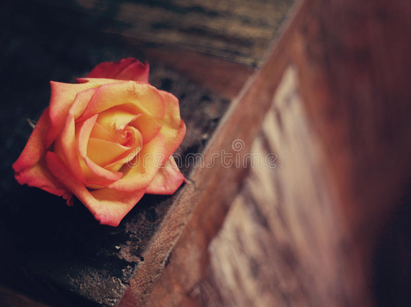 Rose on Wood royalty free stock image