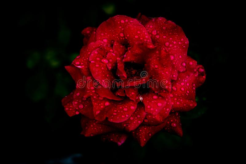 Red rose after rain. A rose is a woody perennial flowering plant of the genus Rosa, in the family Rosaceae, or the flower it bears royalty free stock photo