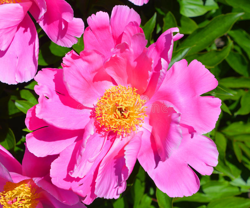 A rose. Is a woody perennial flowering plant of the genus Rosa, in the family Rosaceae, or the flower it bears. There are over a hundred species and thousands royalty free stock images