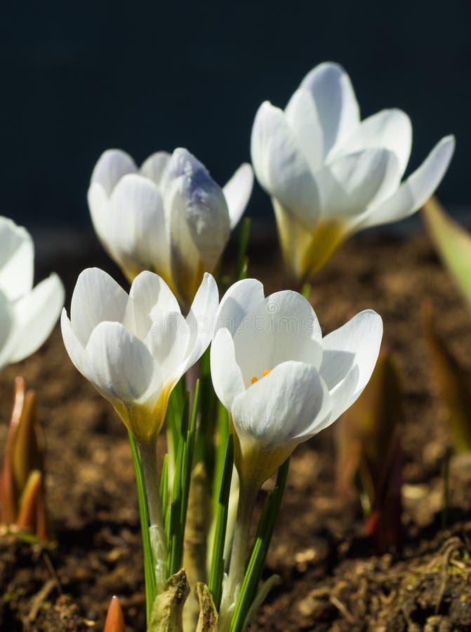 Rose y florecido las primeras azafranes del blanco de la primavera imagenes de archivo