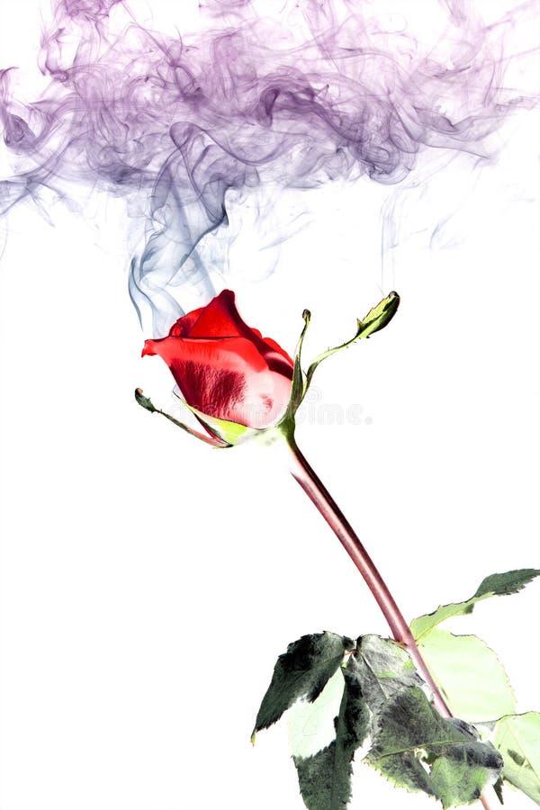 Rose y humo imagen de archivo