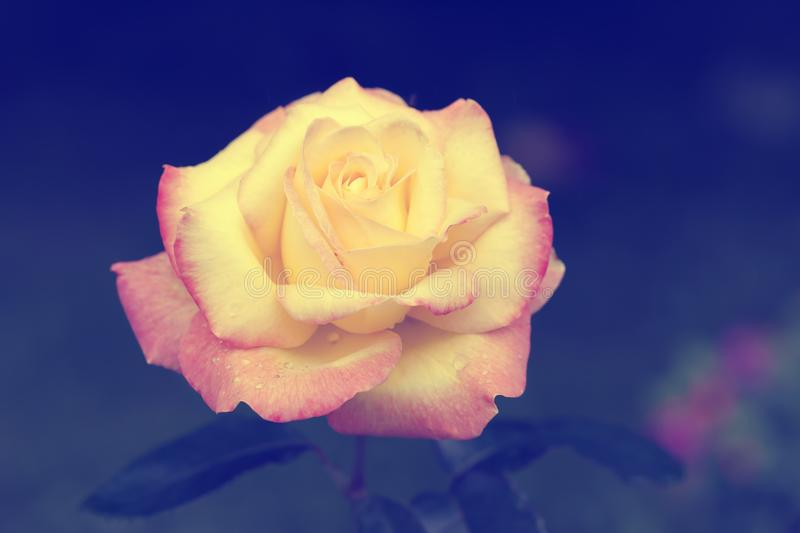 A rose of yellow and pink colors with a retro style.  stock photo
