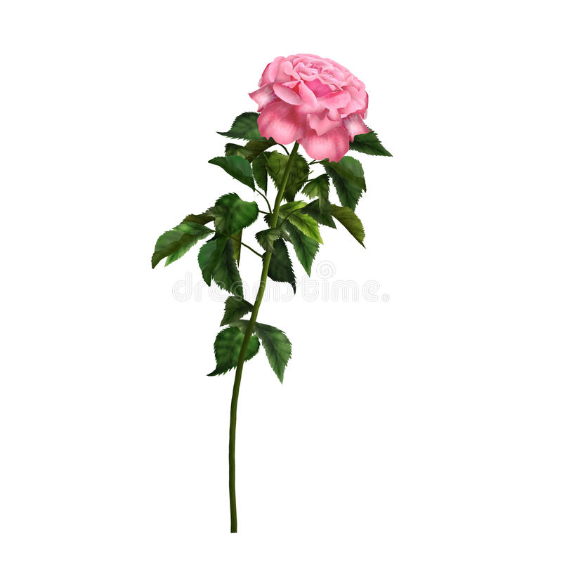 ROSE. Flower isolated on white, beautiful single  watercolor realistic illustration. Vintage pink , decorative symbol. For Valentin's Day, Mother's royalty free stock photos