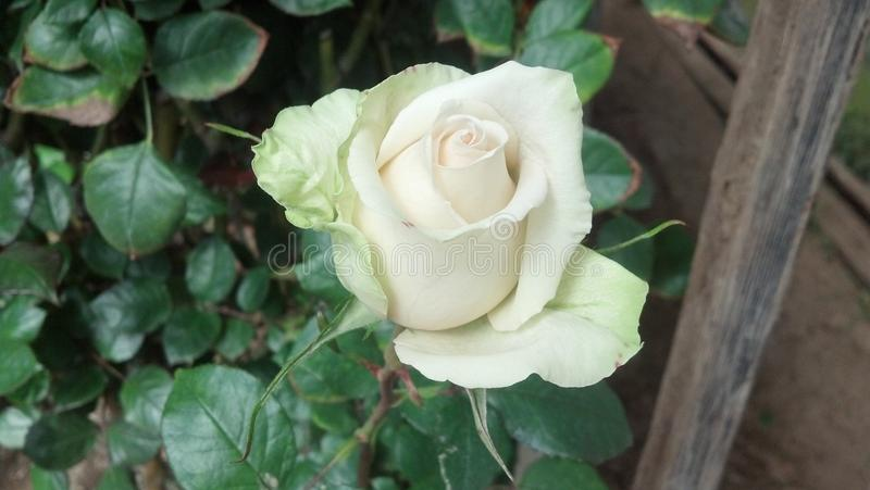rose for your thoughts stock photography