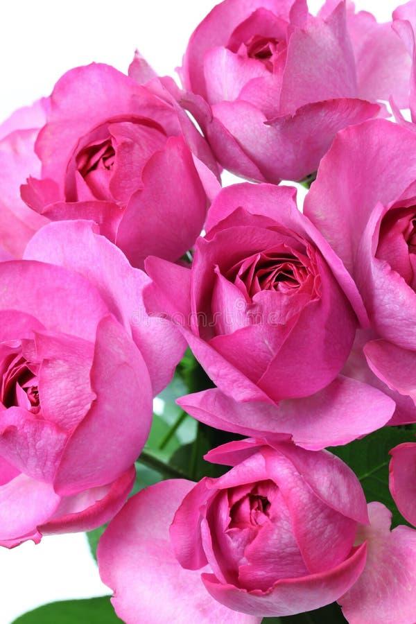 Rose yves piaget stock photo