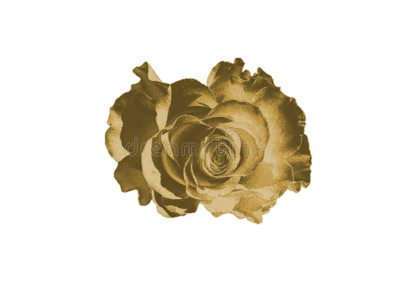 rose złota zdjęcie royalty free