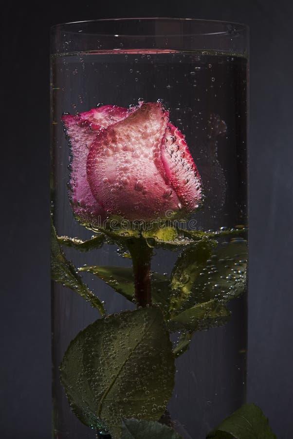 rose zanurzającą wody obrazy stock