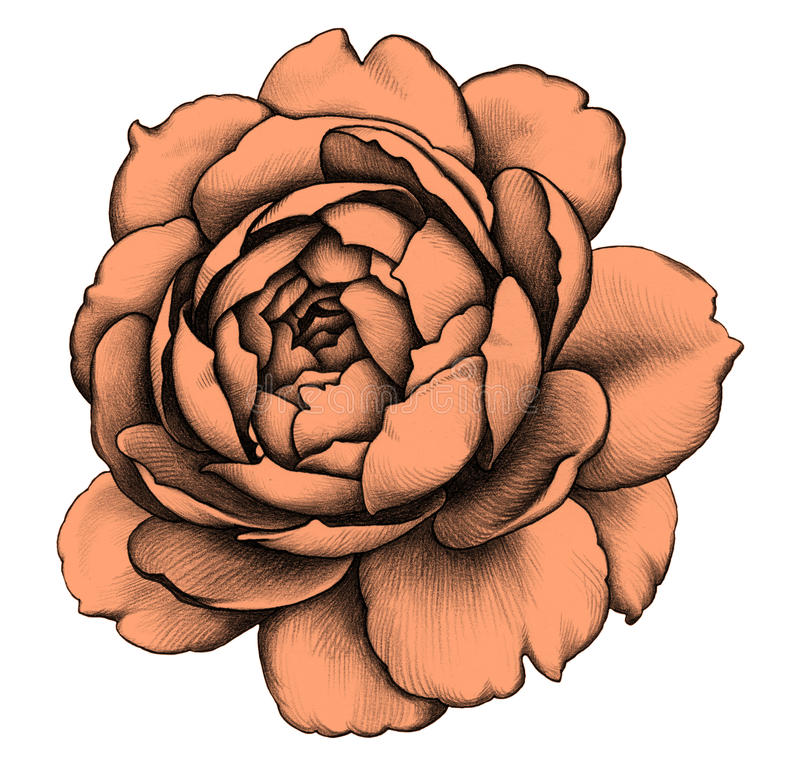 Rose Zeichnung des Baums auf einem weißen Hintergrund stock abbildung