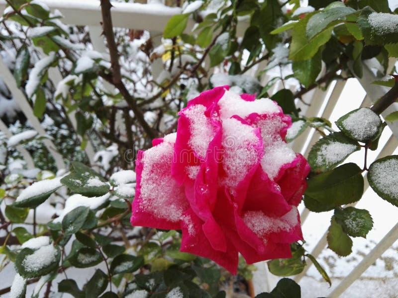 rose zimy zdjęcie royalty free