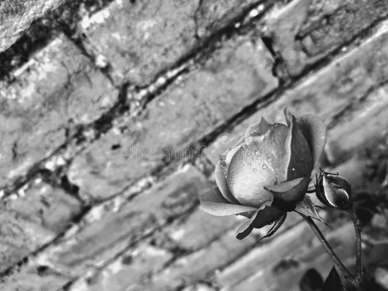 Rose Zwarte roze met waterdruppel royalty-vrije stock foto's