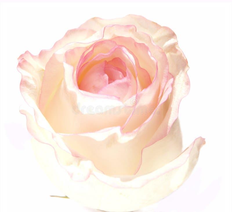 rose1白色 库存图片
