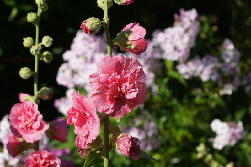 Rosea d'Alcea Belle mauve rose dans le jardin en été image stock