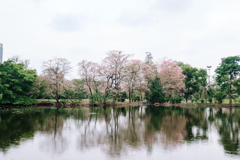 Rosea di Tabebuia in parco immagine stock libera da diritti