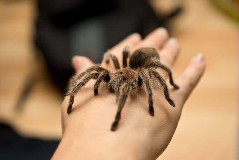 Download Rosea Grammostola стоковое фото. изображение насчитывающей tarantula - 41651740
