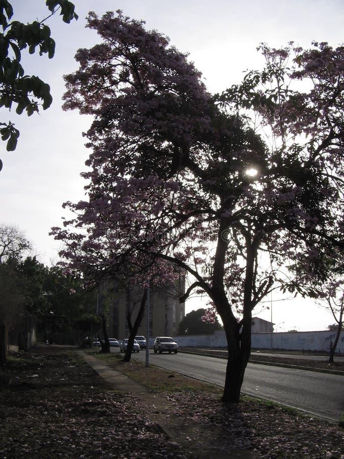 Rosea Tabebuia на взгляде улицы в городе Guayana, Венесуэле стоковое изображение rf