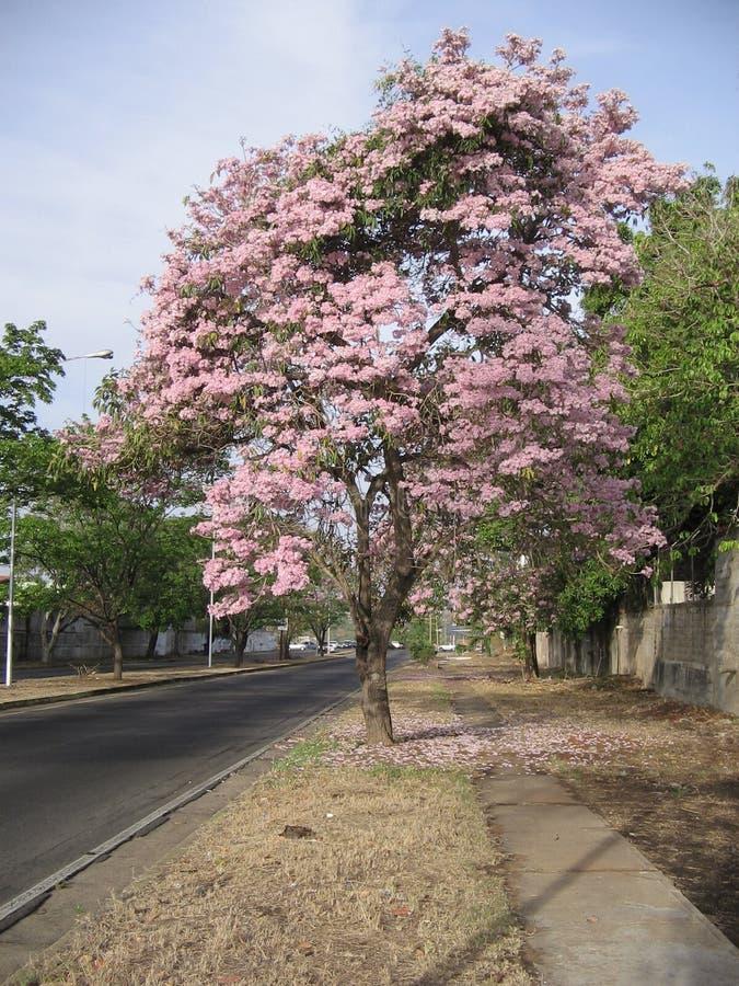 Rosea Tabebuia на взгляде улицы в городе Guayana, Венесуэле стоковые фото