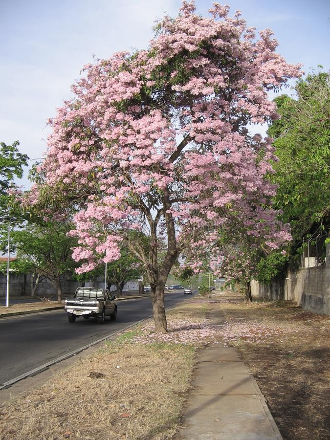 Rosea Tabebuia на взгляде улицы в городе Guayana, Венесуэле стоковое изображение