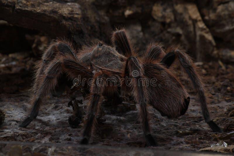 Rosea Tarantula Grammostola αραχνών στοκ φωτογραφίες με δικαίωμα ελεύθερης χρήσης