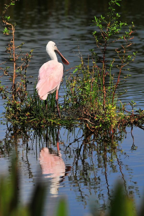 Roseate Spoonbill Bird Stock Photo
