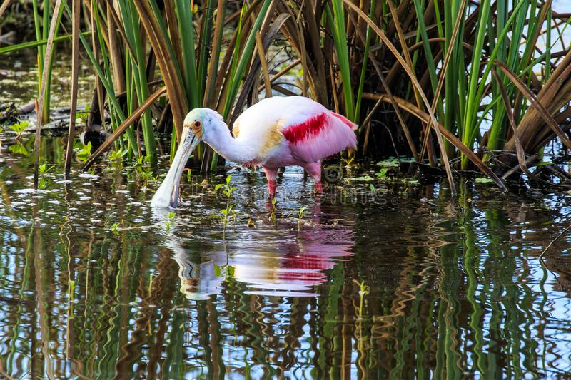 Roseate Spoonbill at Celery Fields Florida. This photograph is of a Roseate Spoonbill.  It was taken early in the morning at the Celery Fields.  Th;is area is royalty free stock images